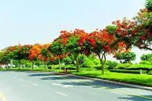Poinciana trees for sale