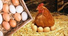 مطلوب بيض دجاج لوهمان في مادبا