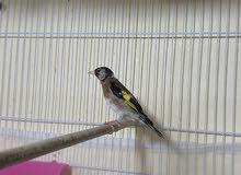 طائر الحسون المغرد