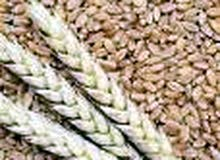 30 آلف طن شعير للبيع