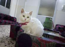 قطه شيرازيه لعوبه جدا ماخذه جميع مطاعيمها عمر شهرين ونص