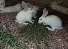 أرانب شاميات تفريخ بيت