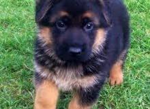 مطلوب كلب جيرمن شيبرد لونق هير للبيع# بنغازي #