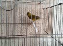 كوم طيور للبيع أو البدل علي كاسكو أو تيمنا