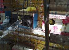 طيور الحب 6 زواج كلهن بيضات +4 عيون حمر الباقي اصفر +ابيض +قفص كبير؛ +قفص وصط