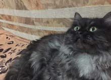 قط فارسي للبيع 200د