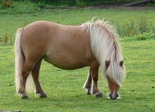 ابحت عن حصان قزم
