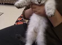 قطه همالايه عمرها شهرين لعوبه ونشطه