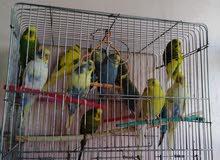 للبيع طيور حب وكنار