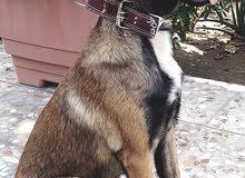 انثى كلاب مالينو نقي جدا