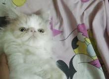 قطه كاليكو زورار بيرشن صغيره