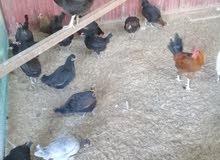 دجاج عربي وفيومي