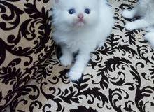 قطط شيرازي بيور العمر شهرين للبيع الواحد 800