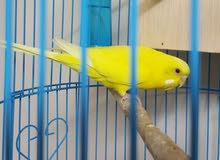 عصفور اصفر بادجي انثي