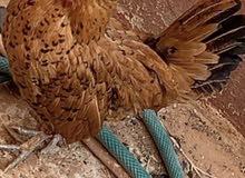 دجاج سبرايت