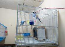 زوج طيور الحب هاجرمو وسبانجل للبيع / أقرا الوصف ضروري.