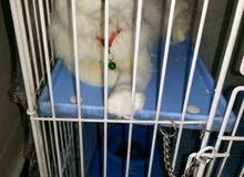 قطة انثى شيرازي بيور منتجة للبيع