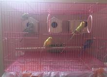 طيور الحب (بادجى)