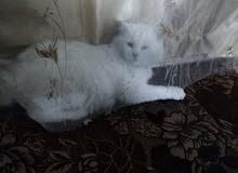 قطه بيضاء بتجنن
