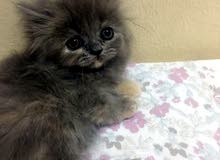 قطه شيرازي ب850