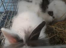 ارانب قزم