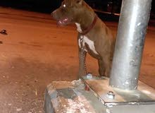 كلب بيتبول للبيع تخفيض ب140الي له رغبه يتوصل معي