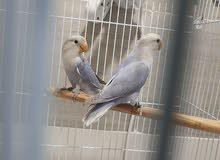 لوف بيرد طيور حب ماربل بلو اوبلاين