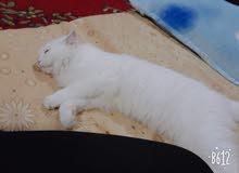 قطه انثى شيرازيه