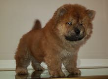 Chow Chow Male pure breed
