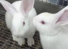 ثمان ارانب اربع فرنسية واربع برية