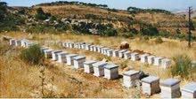 عسل الزعتر الجبلي الحر لمنطقة ازيلال