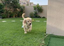 Golden retriever female puppy - 2 months old with passport.