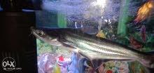 سمكة بنجاسيوس