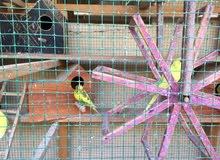 طيور حب للبيع مع القفص