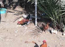 دجاج فسيفس و دجاج عرب للبيع
