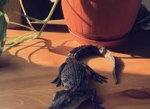 تمساح نيلي للبيع
