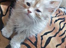 قطوسة شيرازي عمرها شهرين  واخذه تطعيمه و معاها الكتيب