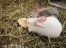 ارنب انثى
