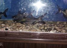 سمك هايفن