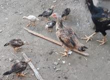 دجاج هندي اصلي