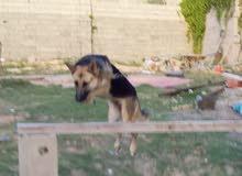 كلبة ولف الماني  العمر 7 شهور