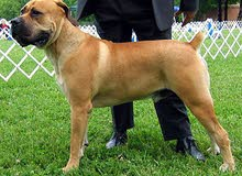 كلب بوربويل الأفريقي