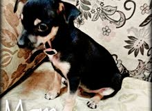 3pure chihuahua for sale