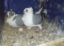 طيور للبيع او للبدل بعصافير كلو شغال