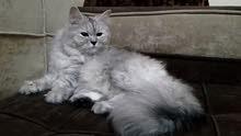 قط ذكر نوع شيرازي