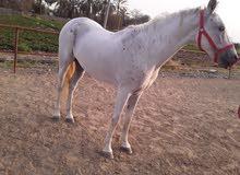 حصان سليم جدا