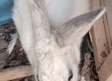 ارانب البفرن