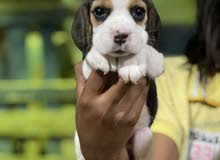 beagle pupies  hight qualty
