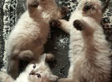 قطط هملايا