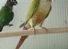 Green cheeck & pineapple conures